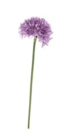 Bloem Agapanthus lila