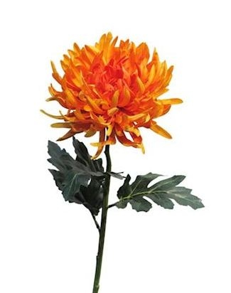 Bloem Ihlen oranje